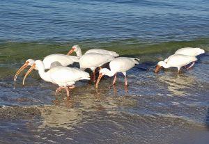 ibis-2