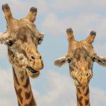 giraffe-small
